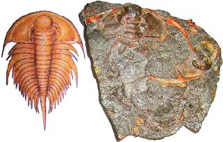Trilobite fossil with reconstruction