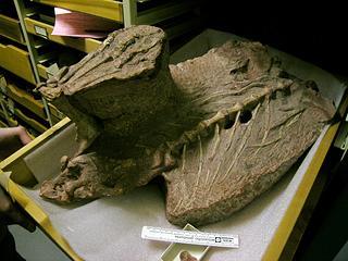 Anchisaurus polyzelus