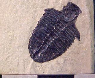 Bathyuriscus