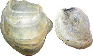 Pycnodonte (Gryphaea) convexa