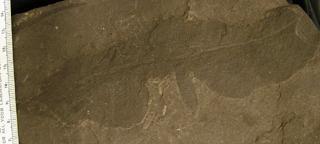 Clathropteris reticulatum