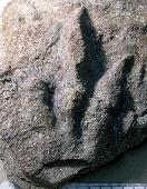 Anchisauripus exsertus